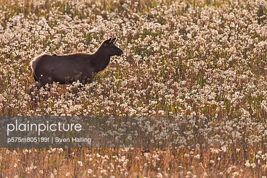 Animal on meadow