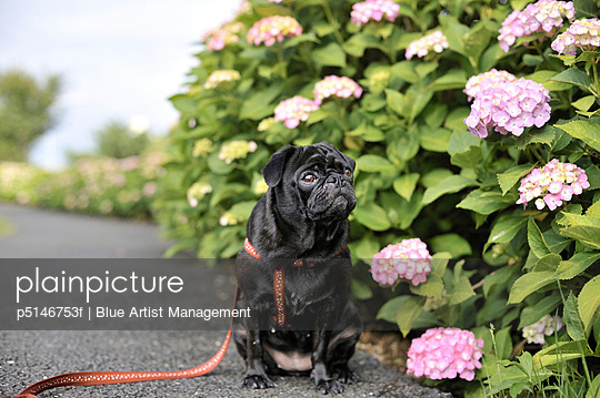 Pug dog next to a hydrangea bush