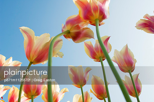 Field of Dutch tulips near Amsterdam, The Netherlands, Europe