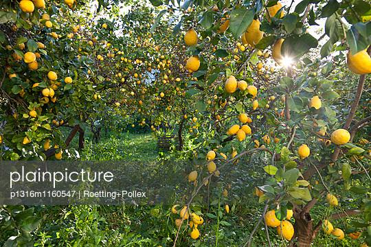 Zitronenbäume, reife Zitronen, Zitronengarten, Zitrusfrüchte, Landwirtschaft, Zitronenernte, Soller, Mallorca, Spanien - p1316m1160547 von Roetting+Pollex