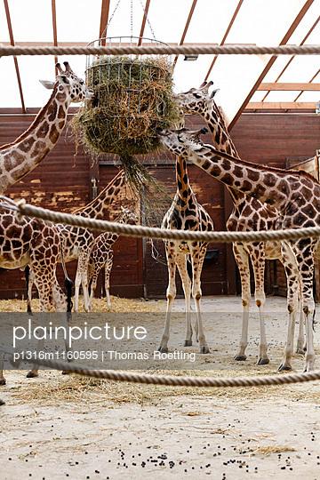 Giraffen beim Fressen, Zoo Leipzig, Sachsen, Deutschland - p1316m1160595 von Thomas Roetting