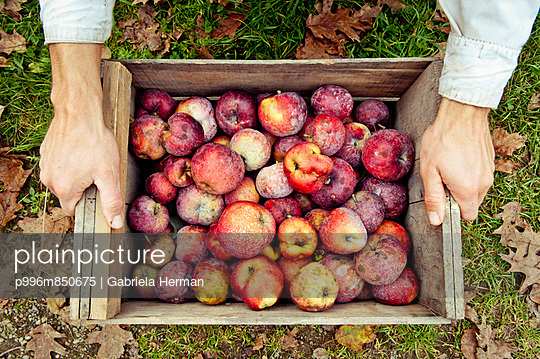 Overhead shot of hands ready to pick up a crate of apples