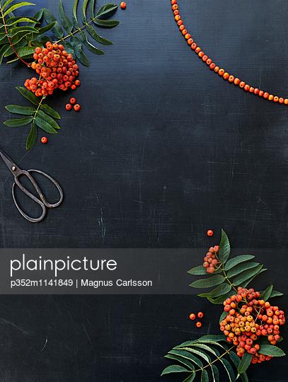 Sweden, Preparation rowanberry (Sorbus aucuparia) necklace