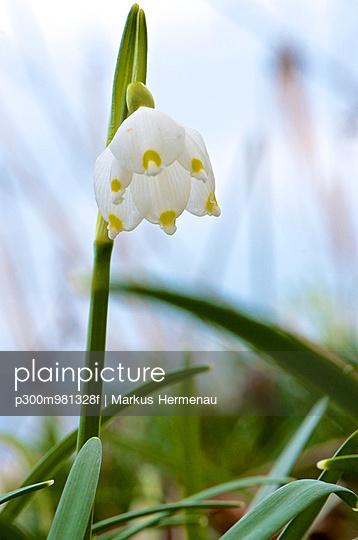 Spring snowflake flower (Leucojum vernum), close-up