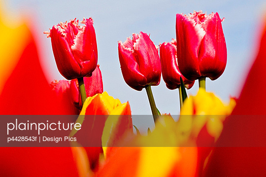 Red tulips, Wooden Shoe Tulip Farm, Oregon, USA