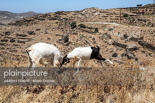 Zwei Ziegen kämpfen miteinander - p445m1159665 von Marie Docher