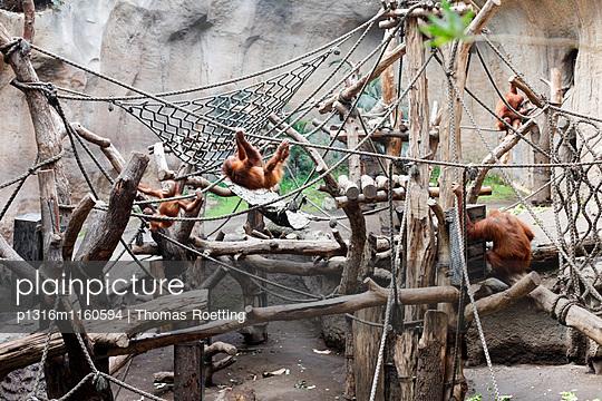 Sumatra-Orang-Utans, Pongoland, Zoo Leipzig, Sachsen, Deutschland - p1316m1160594 von Thomas Roetting