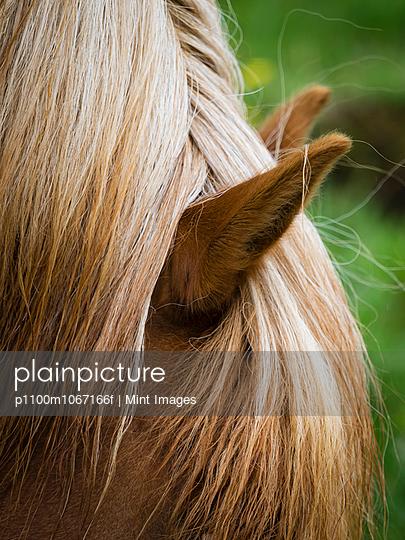 The groomed mane of an Icelandic horse.