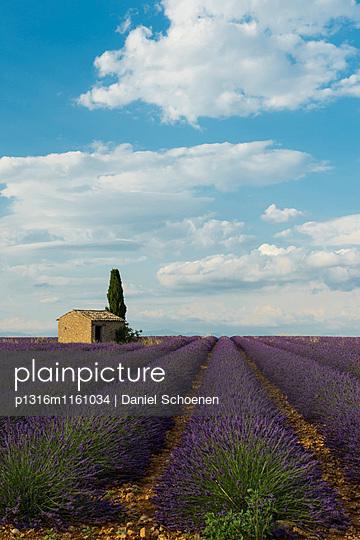 Lavendelfeld, bei Valensole, Plateau de Valensole, Alpes-de-Haute-Provence, Provence, Frankreich - p1316m1161034 von Daniel Schoenen