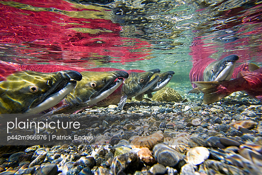 Underwater View Of Red Salmon In A Small Stream In The Interior Of Alaska During Summer.