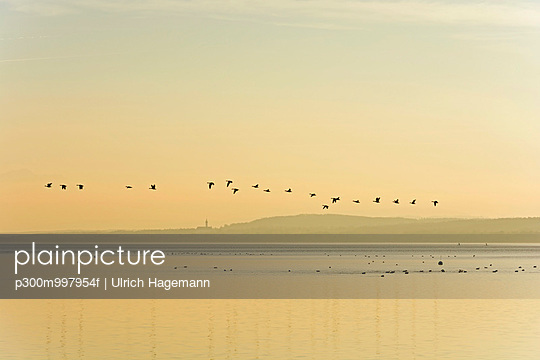 Germany, Bavaria, Grey geese flying over Lake Ammersee