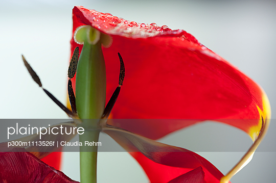 Withered tulip blossom with water drops