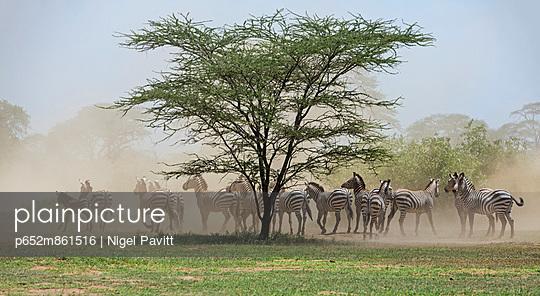 Shompole. A herd of zebras in dust.
