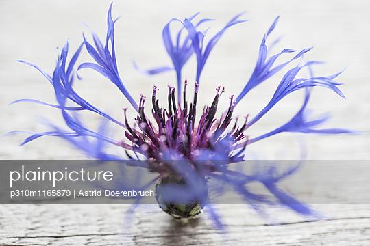 Kornblume - p310m1165879 von Astrid Doerenbruch