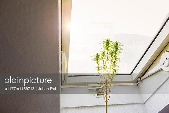 Hanfpflanze - p1177m1159713 von Philip Frowein