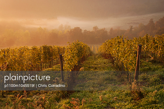 Morning light over the vines in a Tuscan vineyard in autumn.