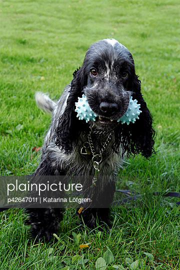 Cocker spaniel with toy in its mouth