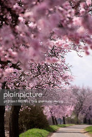 Blühende Mandelbäume an der Weinstraße bei Bockenheim, Rheinland-Pfalz, Deutschland, Europa - p1316m1160781 von Tina und Horst Herzig