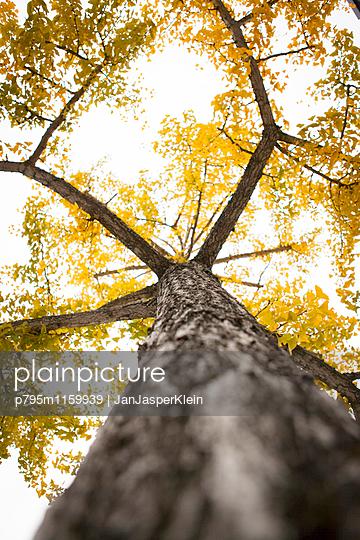 Baum mit gelbem Laub - p795m1159939 von Janklein