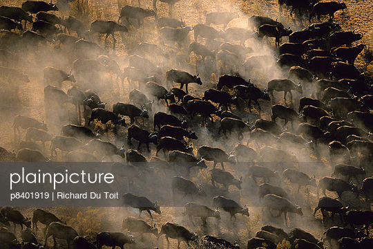 Aerial view of herd of African buffalo on the move