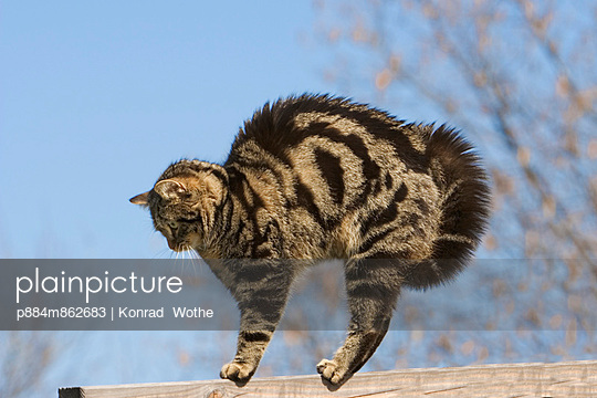 Domestic Cat in defensive posture with hackles raised
