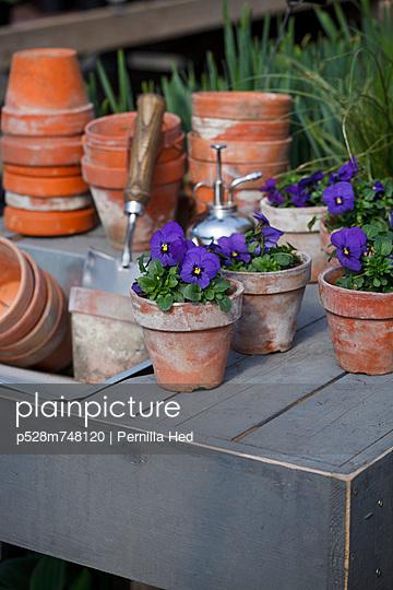 Blue pansies in flower pots