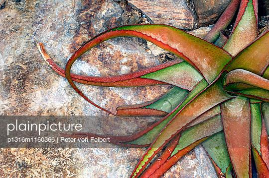 Nahaufnahme einer Aloe Vera-Pflanze - p1316m1160366 von Peter von Felbert