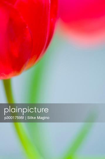 Close up of tulip flower