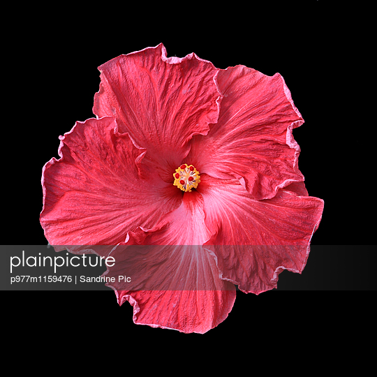 Hibiskusblüte auf schwarzem Hintergrund - p977m1159476 von Sandrine Pic