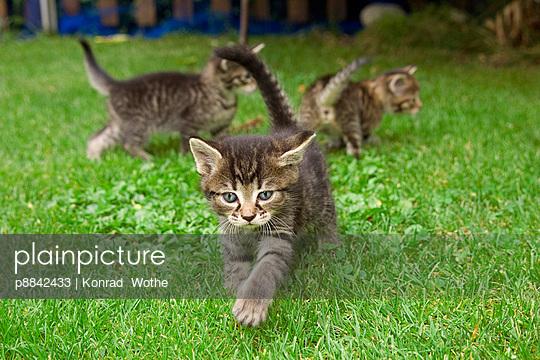 Domestic Cat three grey Tabby kittens playing
