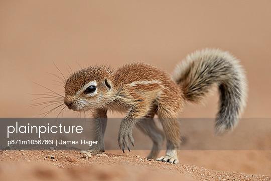 Baby Cape ground squirrel , Kgalagadi Transfrontier Park, encompassing the former Kalahari Gemsbok National Park, South Africa, Africa