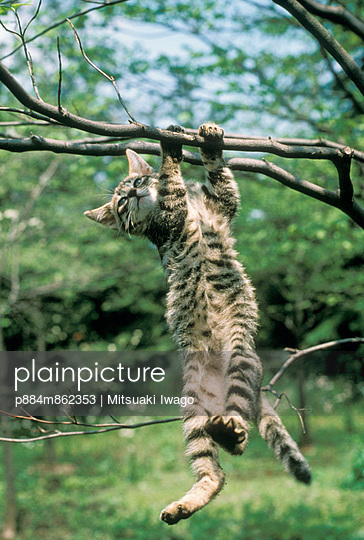 Domestic Cat kitten hanging from tree branch