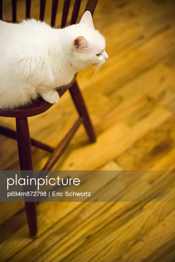 Fluffy White Cat Perched on Chair Above Wood Floor
