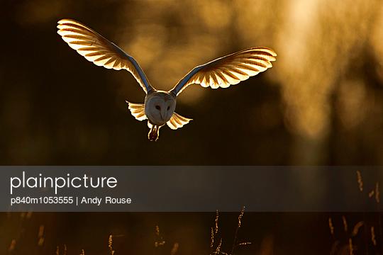 Barn Owl hunting at sunrise, UK, March.