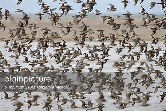 Flock of Dunlins flying together