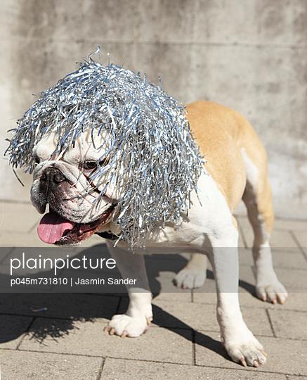 Bulldog with wig