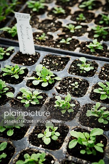 Junge Salatpflänzchen - p1149m1147268 von Yvonne Röder
