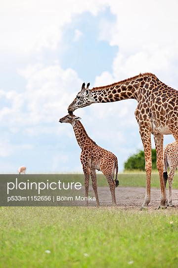 Masai Giraffe mit Jungtier - p533m1152656 von Böhm Monika