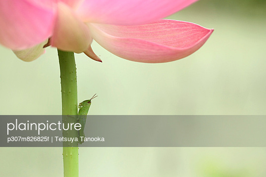 Insect on lotus flower