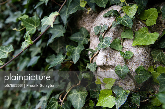 The sculpture of a face covered with ivy, Sweden.