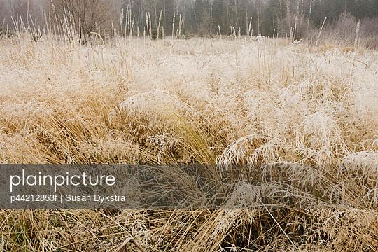 frosty grass; thunder bay, ontario, canada