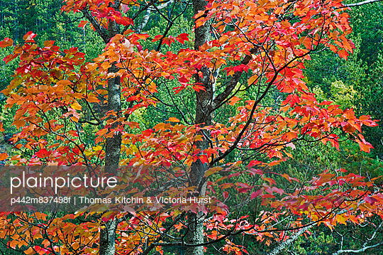 Autumn Sugar Maple Trees. Algonquin Provincial Park, Ontario. Canada.