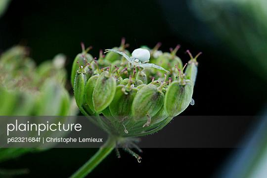 Tiny spider on flower head