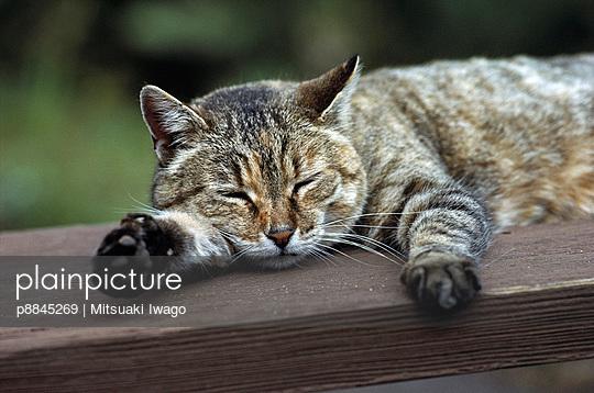 Domestic Cat gray Tabby sleeping