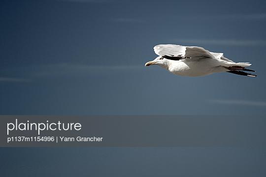 Möwe im Flug - p1137m1154996 von Yann Grancher