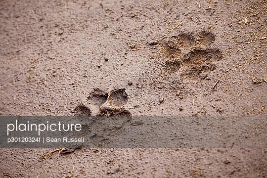 A pair of lion paw prints, close-up