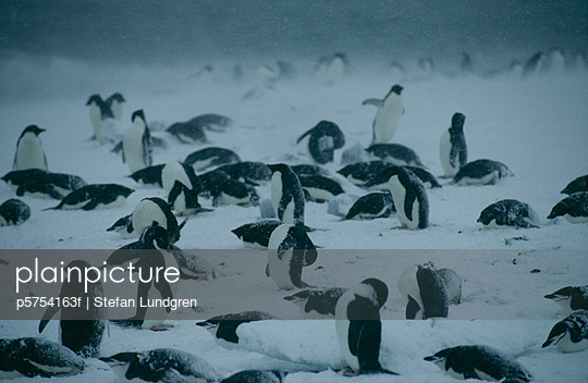 Adelie Penguins in a storm, the Antarctic.