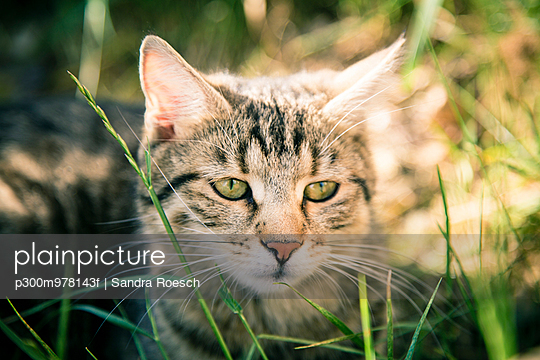 Portrait of tabby cat sitting in the grass