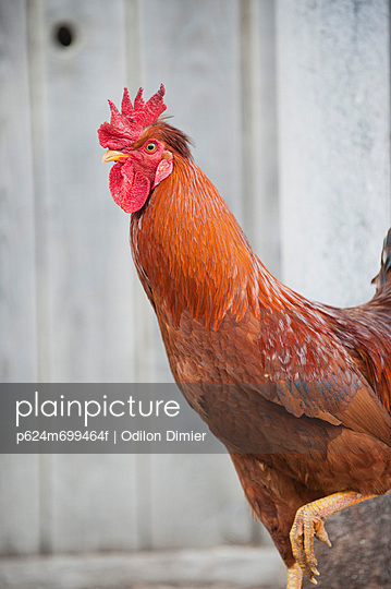 Rooster standing on one leg