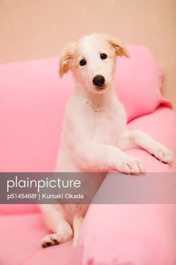 Borzoi puppy on pink sofa